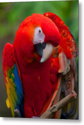 Metal Print featuring the photograph Scarlet Macaw by Cindy Haggerty