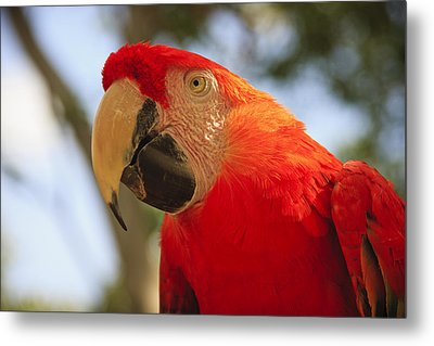 Scarlet Macaw Parrot Metal Print by Adam Romanowicz