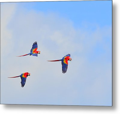 Scarlet Macaws Metal Print by Tony Beck