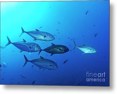 School Of Bigeye Jack Fishes Metal Print by Sami Sarkis