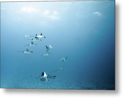 School Of Devil Rays Metal Print by Alexander Safonov