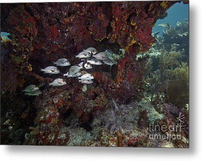 School Of Gray Snapper Amongst Metal Print by Terry Moore
