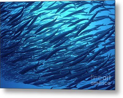 School Of Pelican Barracudas Metal Print by Sami Sarkis