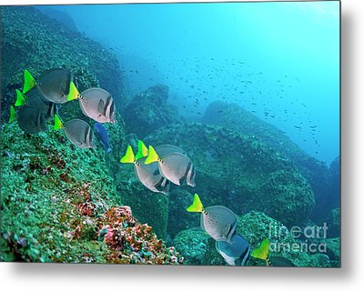 School Of Razor Surgeonfish On Rocky Seabed Metal Print by Sami Sarkis