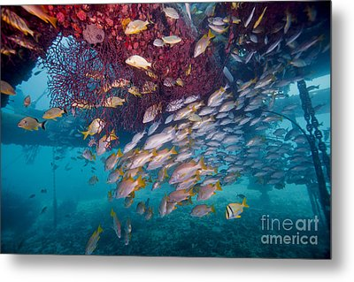 Schools Of Gray Snapper, Yellowtail Metal Print by Terry Moore