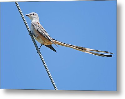 Scissor-tailed Flycatcher Metal Print by Bonnie Barry