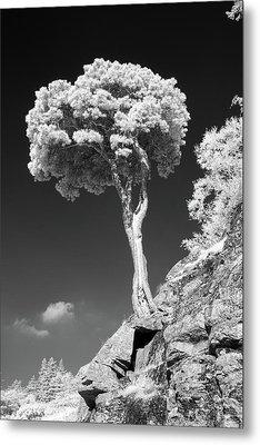 Scots Pine Tree Metal Print by Taken by Timothy Ball
