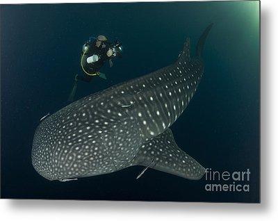 Scuba Diver And Whale Shark, Papua Metal Print by Steve Jones