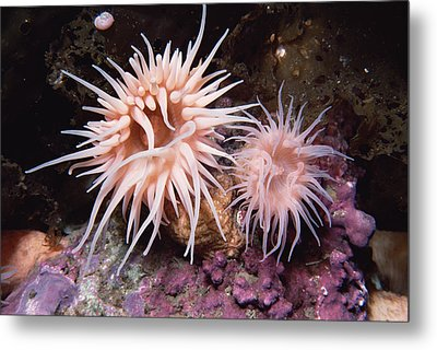 Sea Anemones In  Admiralty Inlet Metal Print