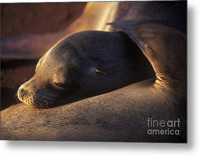 Metal Print featuring the photograph Sea Lion - Galapagos by Craig Lovell