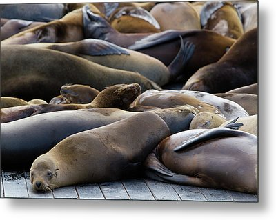 Sea Lions At Pier 39 Metal Print by Hitesh Sawlani