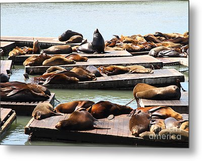 Sea Lions At Pier 39 San Francisco California . 7d14316 Metal Print by Wingsdomain Art and Photography