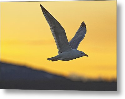 Seagull Flying At Dusk With Sunset Metal Print by Robert Postma