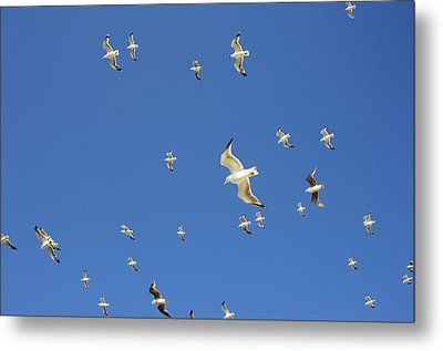 Seagull Metal Print by Johnny Greig