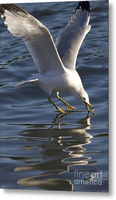 Seagull On Water Metal Print