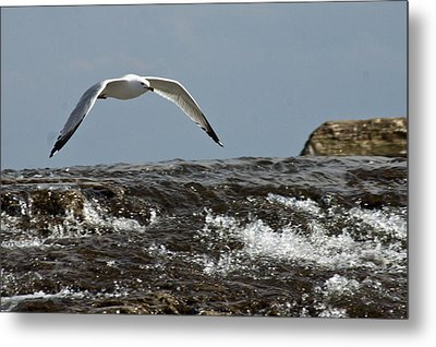 Seagull Overt The Rapids Metal Print by Darleen Stry