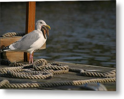 Seagull Swallows Starfish Metal Print by Kym Backland