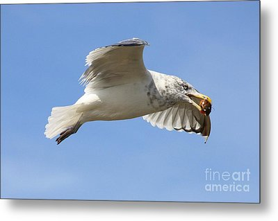 Seagull With Snail Metal Print by Carol Groenen