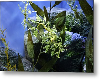 Metal Print featuring the photograph Seahorse by Paul Plaine