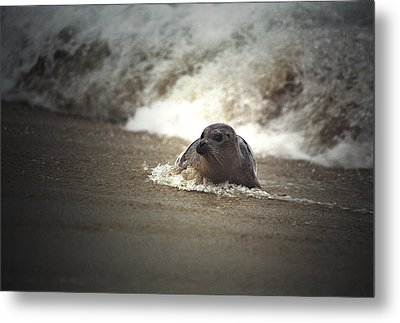 Seal In The Surf At Lajolla Beach No.004 Metal Print by Randall Nyhof
