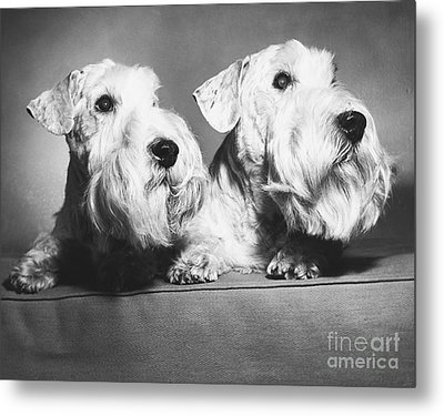 Sealyham Terriers Metal Print by M E Browning and Photo Researchers
