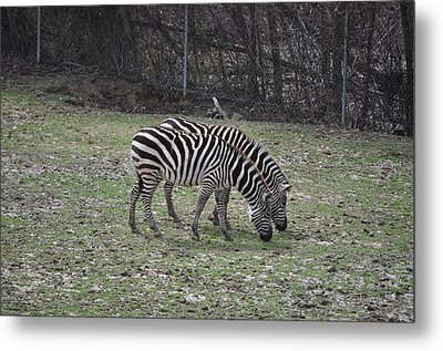 Seeing Double Metal Print by Tammy Price