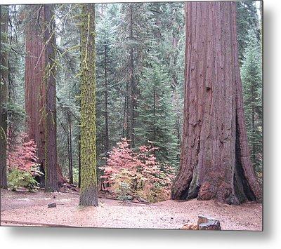 Sequoia  Trees  Metal Print