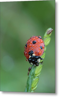 Seven-spotted Lady Beetle On Grass With Dew Metal Print