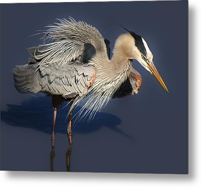 Shaking Out My Tail Feathers Metal Print by Paulette Thomas