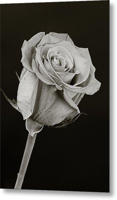 Sharp Rose Black And White Metal Print by M K  Miller