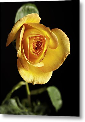 Sharp Yellow Rose On Black Metal Print by M K  Miller