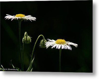Metal Print featuring the photograph Shasta Daisies by Mitch Shindelbower