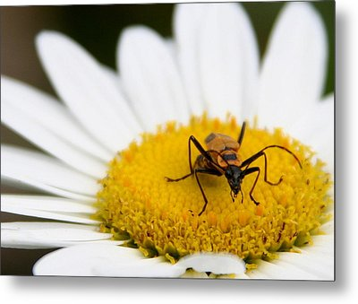 Metal Print featuring the photograph Shasta Daisy And Friend by Paula Tohline Calhoun