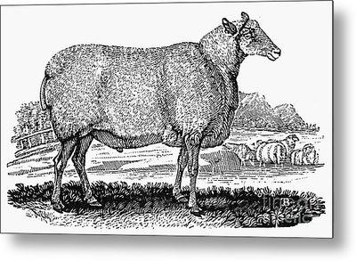 Sheep, C1800 Metal Print by Granger