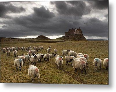 Sheep Grazing By Lindisfarne Castle Metal Print by John Short