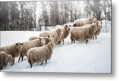 Sheep Herd Waking On Snow Field Metal Print by Coolbiere Photograph