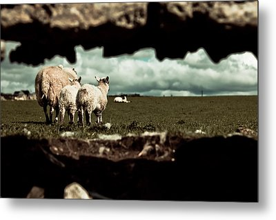 Metal Print featuring the photograph Sheep In The Wall by Justin Albrecht