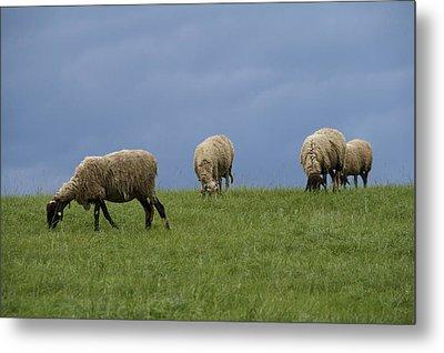 Sheep Metal Print by Pan Orsatti