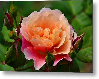 Sherbet Rose Metal Print