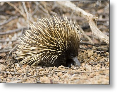Short-beaked Echidna Metal Print by Matthew Oldfield