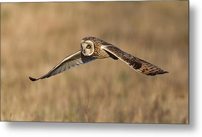 Short Eared Owl Hunting Metal Print