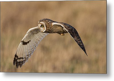 Short-eared Owl In Flight Metal Print