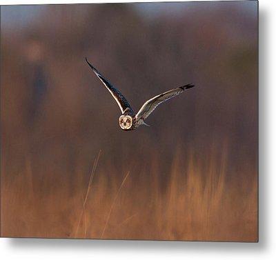 Short-eared Owl Metal Print by Photo by DCDavis