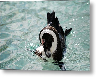 Show Off Metal Print by Kathy Gibbons