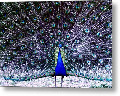 Showoff Metal Print by Eric Chapman