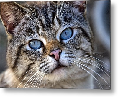 Metal Print featuring the photograph Siamese Feral Cat by Chriss Pagani