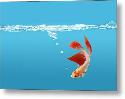 Siamese Fighting Fish Betta Splendens Metal Print by Don Hammond