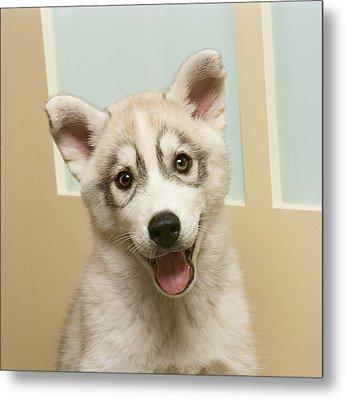 Siberian Husky Puppy In Front Of Door Metal Print by GK Hart/Vikki Hart
