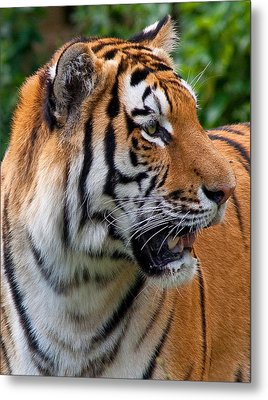 Metal Print featuring the photograph Siberian Tiger by Cindy Haggerty