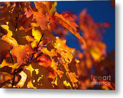 Sierra Autumn Leaves In Orange And Gold Metal Print by ELITE IMAGE photography By Chad McDermott